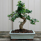 Chinese Privet Kifu Bonsai Tree Ligustrum Sinense  6632