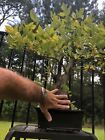 Bonsai Specimen Wisteria Beautiful Trunk