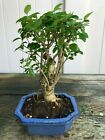 Chinese Privet Mame Shohin Bonsai Tree Ligustrum Sinense  2936