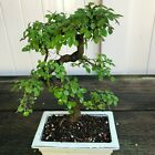 Chinese Elm Kifu Bonsai Tree Ulmus parvifolia  2024
