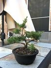 Shimpaku Juniper Bonsai Itoigawa Great Trunk Movement