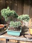 Shimpaku Juniper Bonsai Green Dragon Style 15 years Old