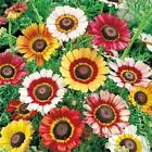 Daisy Mixed Painted Daisy Flowers 125 Seeds Patio Garden Colorful Cut Flowers