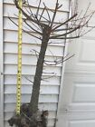 bald cypress pre bonsai 20 year old tree 3 inch Thick trunk amazing