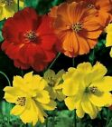 COSMOS SEEDS 50+ BRIGHT LIGHTS FLOWER MIX orange YELLOW red ANNUAL Free Shipping
