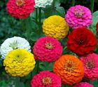 ZINNIA LILLIPUT FLOWER SEEDS 200+ MIXED COLORS ANNUAL reds PINKS Free Shipping