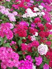 SWEET WILLIAM FLOWER SEEDS 200+ mixed colors REDS pink PURPLE white BIENNIAL