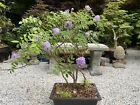 Large Wisteria Bonsai Full Of Flowers