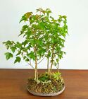 Unique Bonsai Trident Maple Forest In Japanese Unglazed Extra Flat Pot