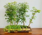 Large Unique Bonsai Trident Maple Forest In Custom Made Solid Walnut Slab