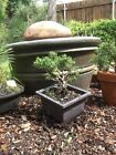 Shimpaku Juniper Bonsai Rugged Little Shohin Starter