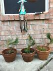 Japanese Black Pine Bonsai Lot Of 3 Thick Twisted Trunks