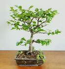 European Hornbeam  Carpinus Betulus  bonsai in a Japanese Kintsugi Pot
