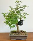 Rare Bonsai Acer Palmatum Glowing Ember In a Japanese Pot