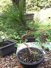Japanese Black Pine Bonsai Thick S Curve Trunk