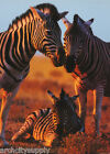 POSTER  ANIMALS  ZEBRA FAMILY WITH BABY FREE SHIPPING  PP0757 RW2 A
