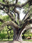 Quercus virginiana Live oak florida native tree roble pre bonsai seed 100 seeds
