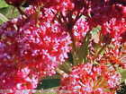 MILKWEED FLOWER PERENNIAL FRAGRANT BLOOMS BEAUTIFUL ATTRACTS MONARCH BUTTERFLY