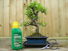 Bonsai Tree Elm Gift Set Indoor Outdoor Tree  Express Delivery
