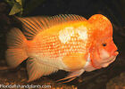(3) Amphilophus labiatus, Red Devil cichlid, 1.5 inch Live Fish FULLY GUARANTEED