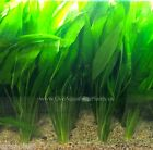 Amazon Sword Plant Bunch Echinodorus Bleheri Live Aquarium Plants BUY2GET1FREE
