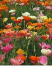 Poppy California Mission Bells Mix Flower Seeds Fresh and Hand Packaged