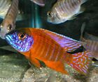 PAIR German Red Peacock Aulonocara African Cichlid 1.25-2.0 inch Live Fish