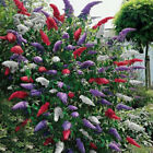 20Pcs Butterfly Bush Seeds Rare Flower Plant Tree Exotic Garden Fresh Colorful