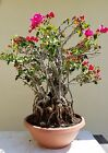 Old Bougainvillea Bonsai Tree Short Sale