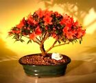 LIVE Red Azalea Bonsai Flowering Tree Hino Crimson Kurume 12 Plant Garden Decor