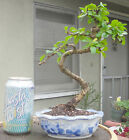 Fukien Tea Tree Bonsai Dwarf Mame Shohin Nice Movement Fat Trunk White Flowers
