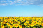 Sunflower Field Blue Sky Provence France Photo Art Print Poster 18x12