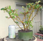 Chaenomeles Japanese Super Red Quince Pre Bonsai Mame Flowers Fruits