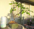 Chaenomeles Contorta Japanese Contorted Quince Pre Bonsai Mame Flowers