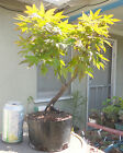 Red Japanese Maple Pre Bonsai Shohin Dwarf Big Fat Trunk