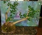 Large Beautiful Bonsai Mission Olive Tree in Rock Style Pot
