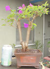 Bougainvillea Bonsai Dwarf Shohin Fat Trunk Purple Flowers