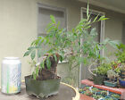 Chinese Elm Ulmus Pre Bonsai Dwarf Shohin Mame With Stone Rock
