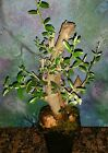 Beautiful Mission Olive Tree Great Bonsai Style 21 Tall
