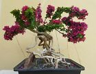Old Bougainvillea Bonsai Tree Sale