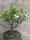 2 colour flowers Chinese quince bonsai tree