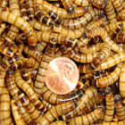 Live Superworms Large Size Apx175 o 2 inches 50 to 1000 Counts By Gimminy