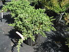 Procumbens Nana Juniper Bonsai starter plant Evergreen TEN plants FREE ship