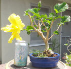 Hibiscus Bonsai Shohin Dwarf Yellow Flower