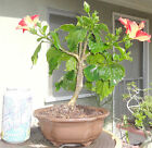 Hibiscus Starry Wind Bonsai Shohin Dwarf Red Yellow Flower
