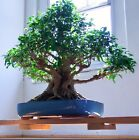 90 Year Old Specimen Ficus Microcarpa Bonsai Tree Indoor Outdoor Tropical Plant