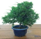 Chinese Juniper Bonsai Tree No2