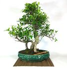 Bonsai Ficus Retusa 45
