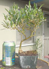 Olive San Fernando Pre Bonsai Dwarf Shohin Nice Movement Trunk A1