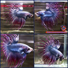 Live Betta Fish Male Steel Blue Purple Crowntail CT 1094